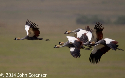 Grey Crowned Cranes in Flight