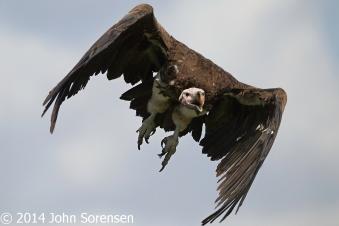 Lappet Faced Vulture In Flight