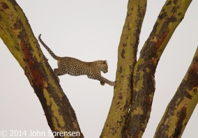 Leopard Between Tree Limbs