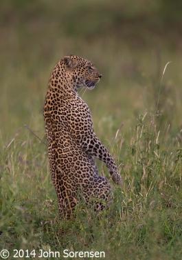 Leopard Upright