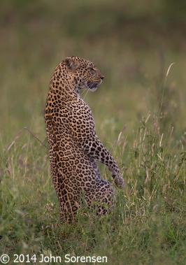Leopard Upright