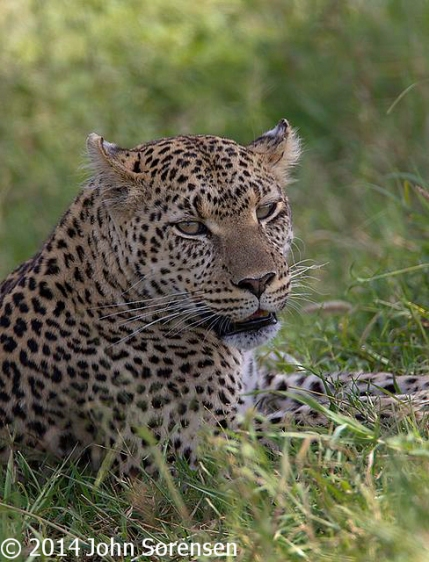 Leopard At Rest