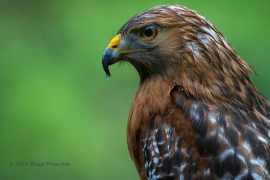 Red-Shoulder Hawk With Water Droplet On Beak