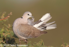 Ring_Necked_Dove_Serengiti_NP_Tanzania_15898 copy