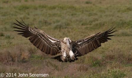 Ruppells Griffon Vulture