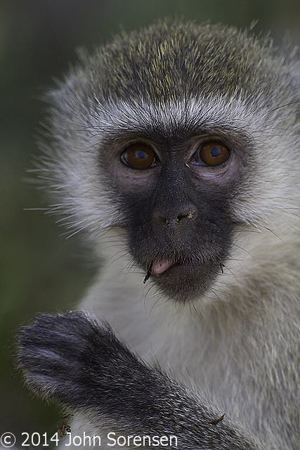 Portrait of a Vervet Monkey Eating
