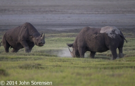 White Rhinoceros Confrontation