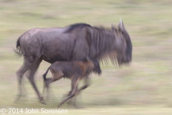 Wildebeest and Baby