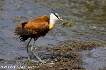 african-jacana-with-wings-spread-swenti-hide_af13307dsa