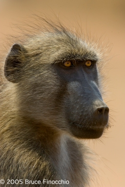 Bay Day Baboon on Guard Duty