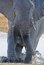Bull Elephant Plays and Kicks up Muddy Water
