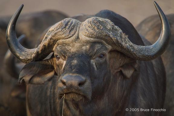 Cape Buffalo One Among The Herd