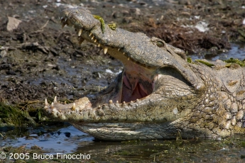 Crocodile Opens Mouth Wide