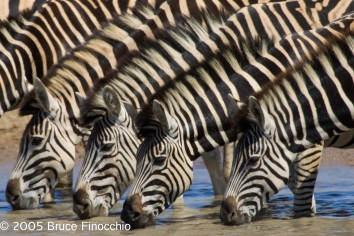 Four Zebras Drink At The Jones Dam
