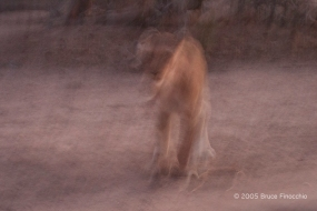 Ghost Lioness
