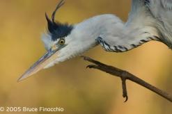 Grey Heron Scratches Itself At Lake Panic Hide_