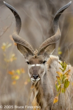 Portrait Of A Male Kudu