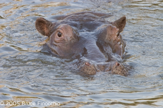 Large Hippo Shows Only Its Head