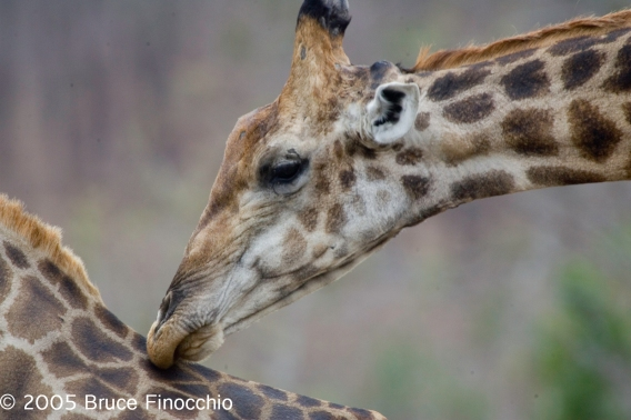 Male Giraffe Caresses Female