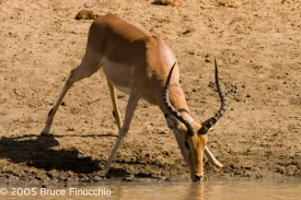 Male Impala Drinking at the Jones Dam