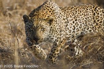 Male Leopard Hunts