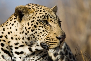 Male Leopard Watches