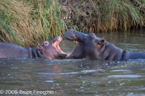 Mother Hippo and Young Play and Tussle