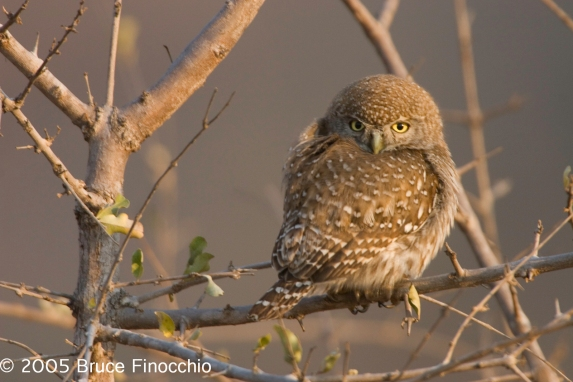 Pearl-spotted Owl
