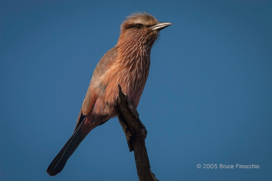 Purple Roller On Perch