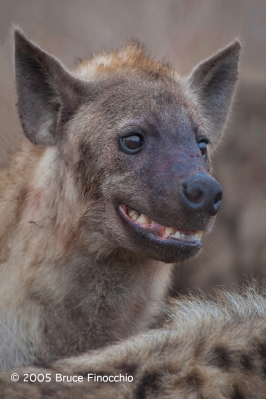 Spotted Hyena Face