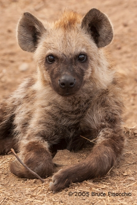 Spotted Hyena Pup Portrait