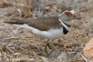 Three-banded Plover Above Eggs in Nest