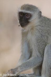 Vervet Monkey in a Reflective Moment