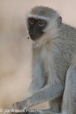 Vervet Monkey in a Reflective Moment