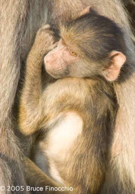While In Mother's Arms A Young Baboon Holds On To Mother's Tit