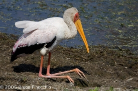 Yellow-billed Stork On Knees Along Waters Edge