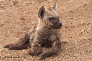 Young Hyena Pup