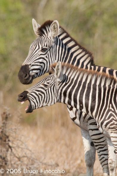 Young Zebra Snorts