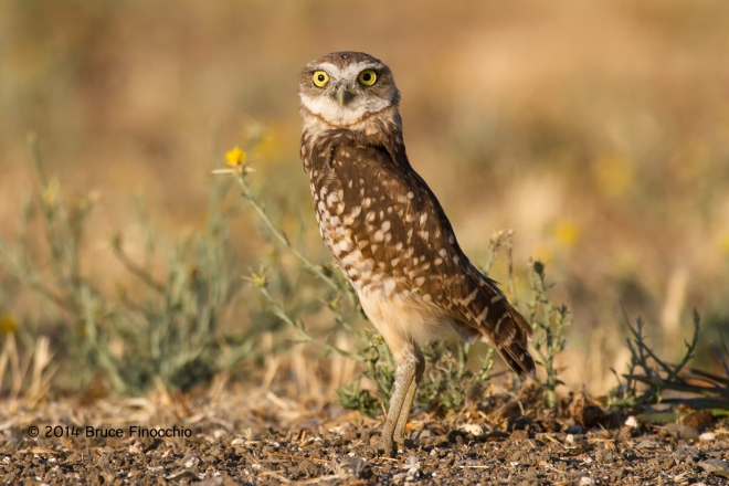 An Alert Young Burrowing Owl