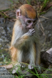 A Very Young Patus Monkey Holds Hand To Mouth