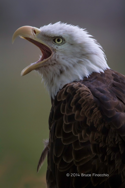 Bald Eagle Cries Out