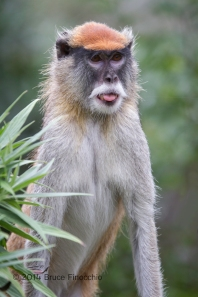 Male Patus Monkey Sticks Out Tongue
