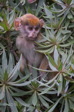 Patus Monkey Baby Among The Green Leaves
