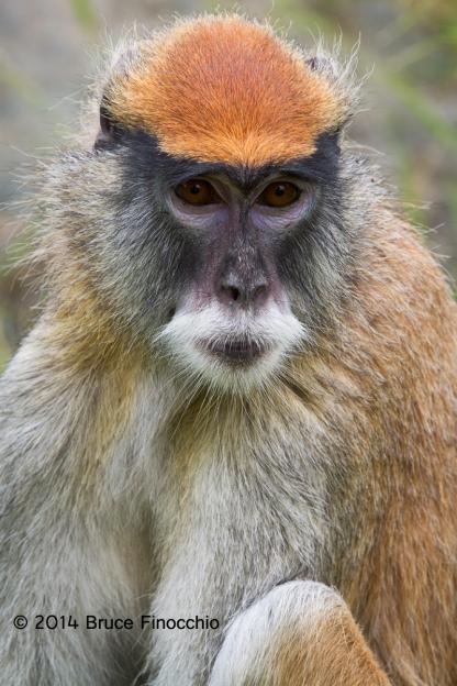 Patus Monkey Portrait