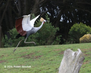 Crowned Crane On the Move