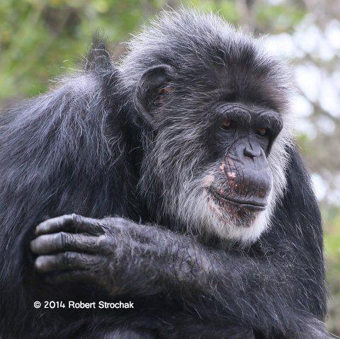 Old Man Chimp Ponders Life