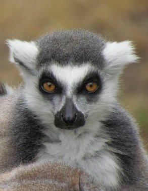 Ring Tail Lemur Portrait