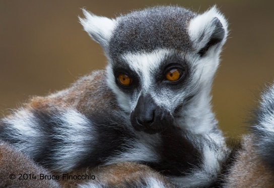 The Face Of A Ring-tailed Lemur