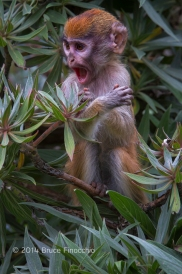 Very Young Patus Monkey Calls Out