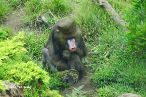 Male Mandrill Among The Greenery